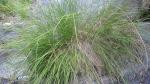 Sierra Grass